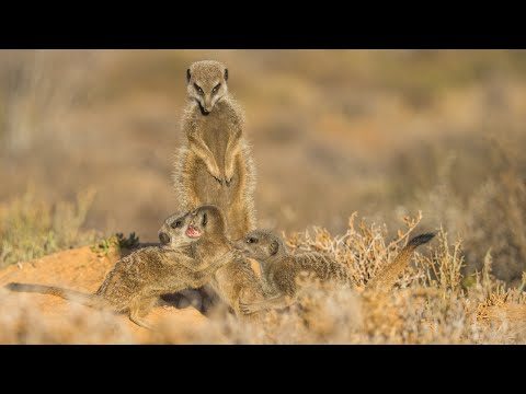 Thumbnail: Baby Meerkats Play Fight Before Scavenging