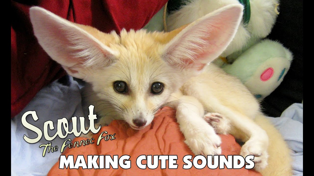 The Cutest Fennec Fox In The World Scout The Fennec Fox Making Cute Sounds Youtube