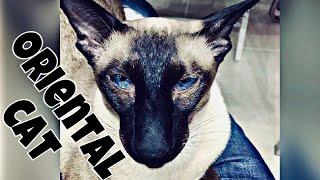 КОТЫ ОРИЕНТАЛЫ | OUR ORIENTAL CATS