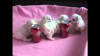 Maltese With Love Puppies, Maltese Puppies For Adoption