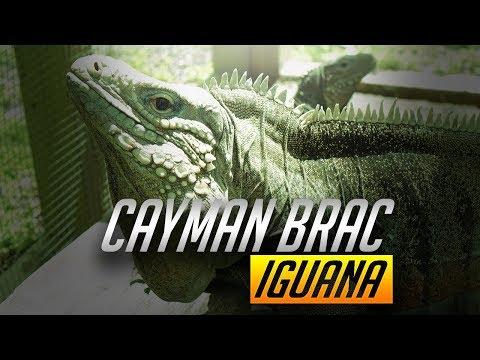 UGR - Cayman Brac Iguana