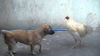 White Cock Training Our Dog Not To Eat Chickens