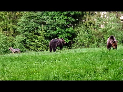 Two Bears Meet A Wolf In Transilvania