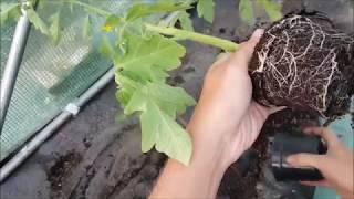 SADZENIE POMIDORÓW | Jak sadzić Pomidory