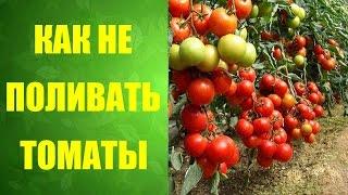 🍅 Как правильно посадить помидоры. #Неполиваемпомидоры(Из видео вы узнаете как вырастить здоровую рассаду #помидор в пеленках и как правильно ее высадить 0:13 Расса..., 2016-05-24T22:30:00.000Z)
