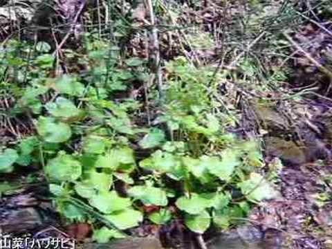 山菜「ハワサビ」