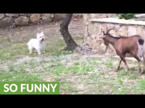 Westie plays hide-and-seek with pair of goats