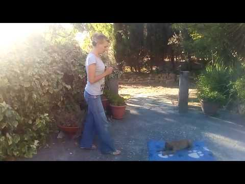 Cirneco dell'Etna puppy CYRENENSIS CONTE
