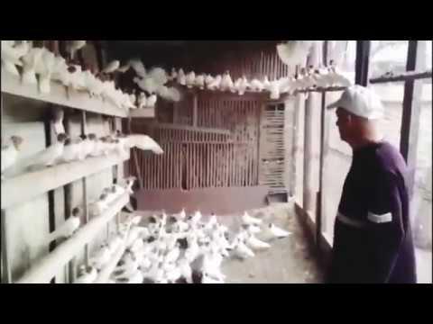 Продаются голуби, номер телефона 89283620747, Ставропольский край город Кисловодск!Порода Иранцы!