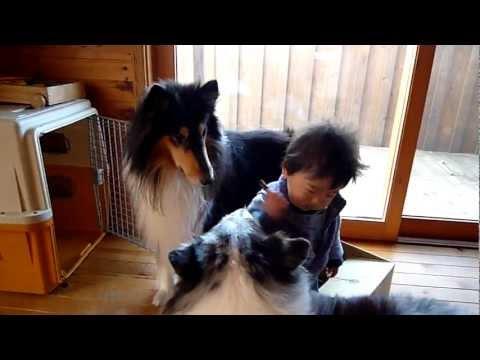 1歳児とシェルティとコリーの日常