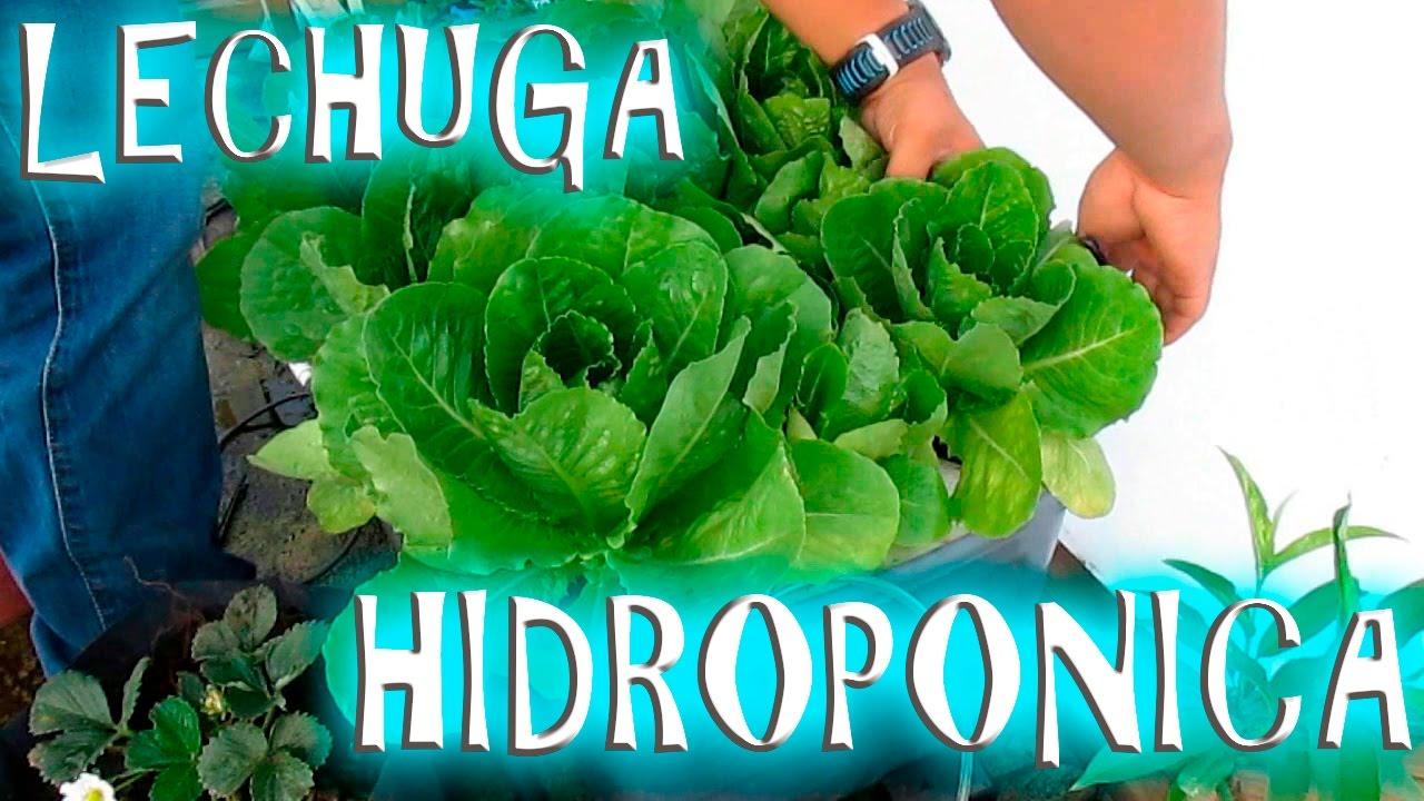 Cultivo Hidroponico de Lechuga casero facil  YouTube