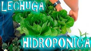 Cultivo Hidroponico de Lechuga casero fácil || México Verde