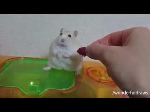 Hamsters   Know Your Meme