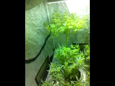 & Great In The 600watt Grow Tent! 5x5 - YouTube