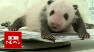 Giant panda cub tries to find his feet - BBC News