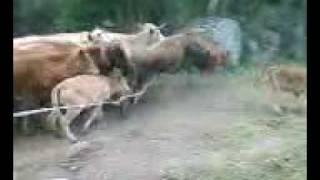 piège a vaches 2