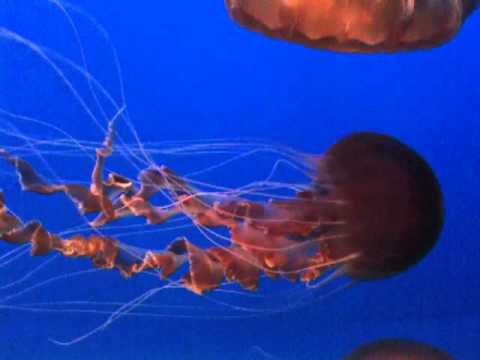 Black Sea Nettle Jellyfish - Monterey Bay Aquarium - YouTube