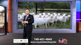 Royal White Sheep