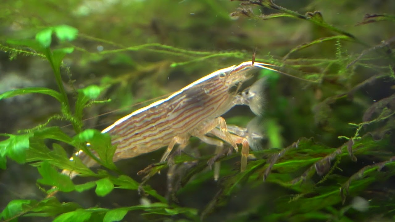 This Shrimp acts like a FILTER- Bamboo Shrimp - YouTube