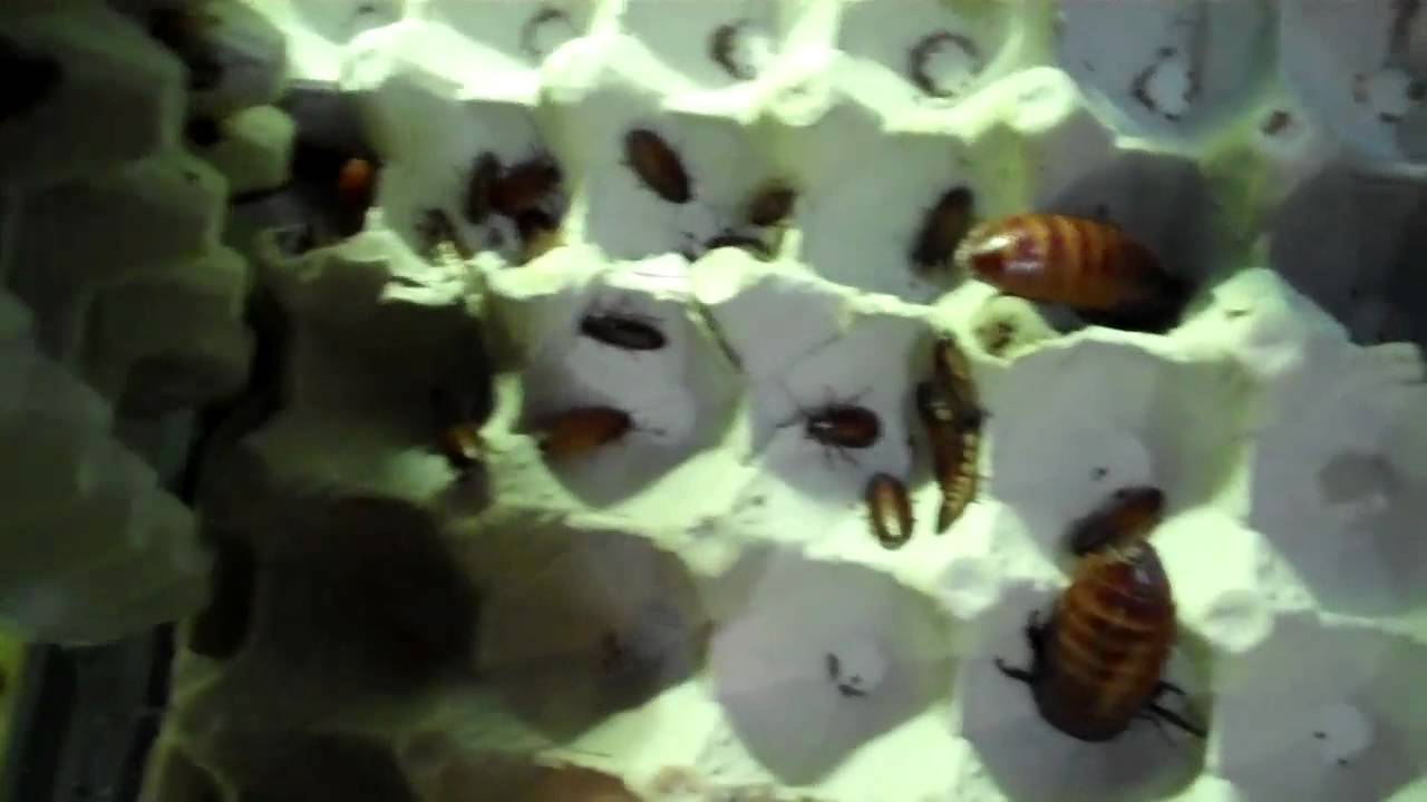 How to Breed Hissing Cockroaches How to Breed Hissing Cockroaches new picture
