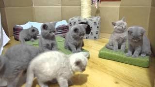 Hodowla Kotów Brytyjskich SŁONECZKO