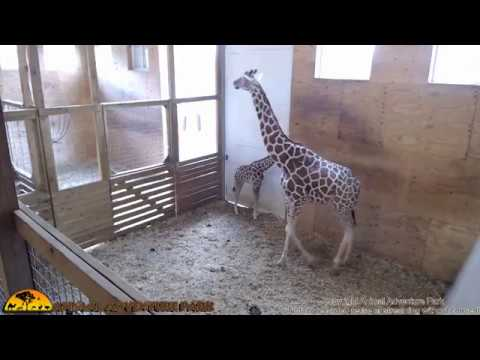 Thumbnail: Animal Adventure Giraffe Cam - June 1