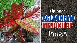Download lagu Tips Cara Agar Daun Aglaonema Mengkilat Indah MP3