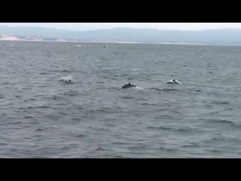 Long Beaked Common Dolphins in Monterey