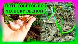 ПЯТЬ советов по ЧЕСНОКУ весной. Почему желтеют листья чеснока. Почему чеснок мелкий вырастает.