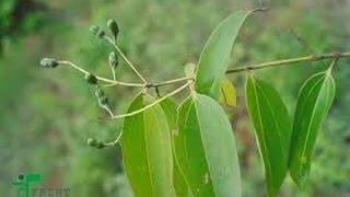 Ayurvedic Medicinal Plants Karuva
