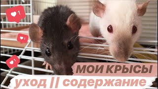 МОИ КРЫСЫ 🐀 || УХОД и СОДЕРЖАНИЕ: клетка моих крыс))
