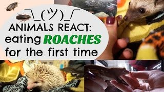 ANIMALS REACT: Eating Roaches for the First Time