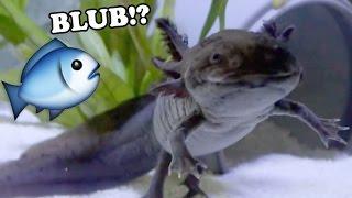 Axolotl-Fütterung: Stinte für Wasserdrachen