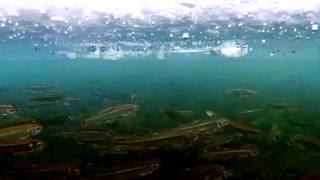 Перволедье. Подводное видео - рыбалка на махалки. Корюхан прет !