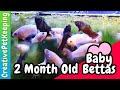 2 Month Old Betta Fry | #BabyFish
