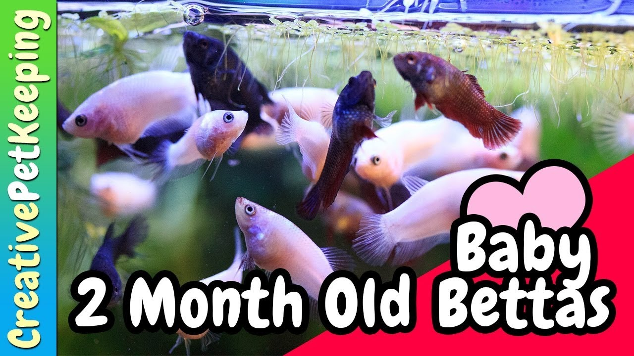 2 month old betta fry baby bettas youtube 2 month old betta fry baby bettas nvjuhfo Choice Image