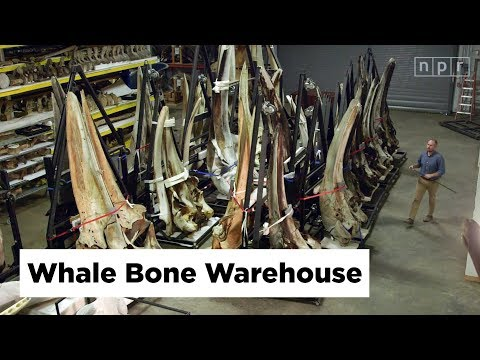 The World's Largest Collection of Whale Bones | Joe's Big Idea | NPR