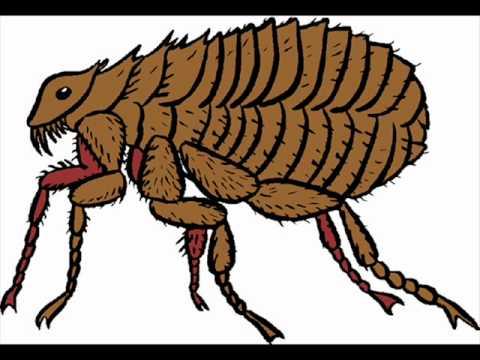 El piojo y la pulga