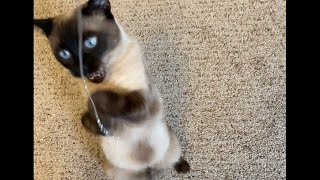 Funny Siamese Cat Playing with String (So Much Better than Toys!)
