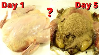 How Quickly The Maġgots Eat The Chicken? Time Lapse.