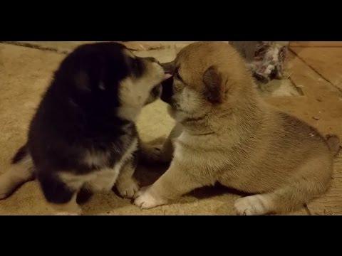 Shiba Inu New Born Puppies Started Walking- FUNNY