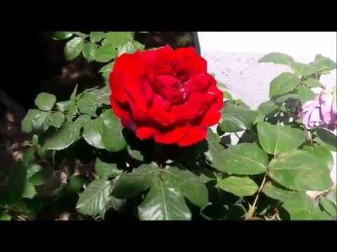 Güller çiçeklerbahçeden Inanılmaz Güzel çiçekler 6flowers Youtube