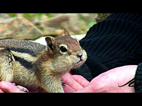 Golden Mantle Ground Squirrel - Trust