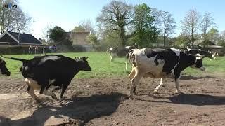 Dansende koeien bij Biologisch Melkveebedrijf Marinus in Twijzel