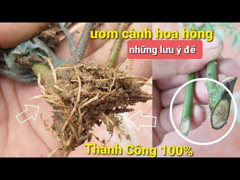Bí Quyết Ươm Cành Hoa Hồng Từ A-Z Của Nhà Vườn 100% Thành Công