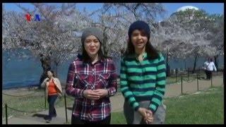 Bunga Sakura dan Awal Musim Semi di AS (1) - VOA Dunia Kita Mp3