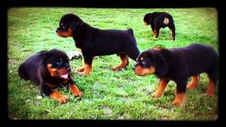 DKV Rottweilers Video Collection | Dzomba X Sila puppies @ 7 weeks old