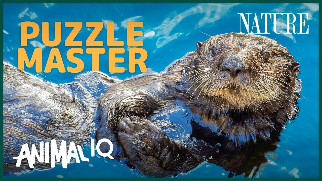 Otters: Cute, Playful, Geniuses? | Animal IQ