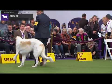 Borzois | Breed Judging 2020