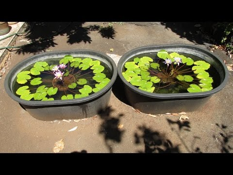 Guppies and Water Lilies in Tubs: Simple Easy Setup